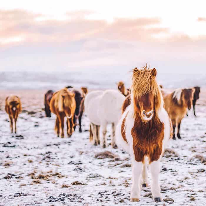 Icelandic Horses. The most beautiful pictures of Iceland!