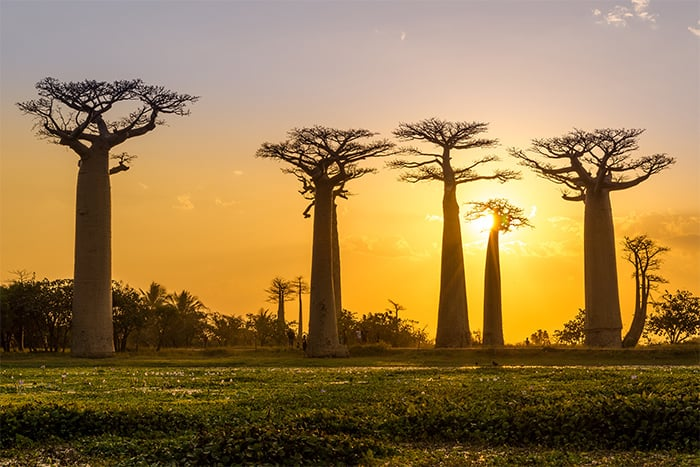 Avenue of the Baobabs Madagascar