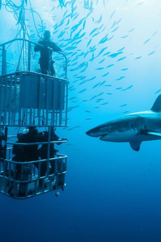 Shark diving Oahu