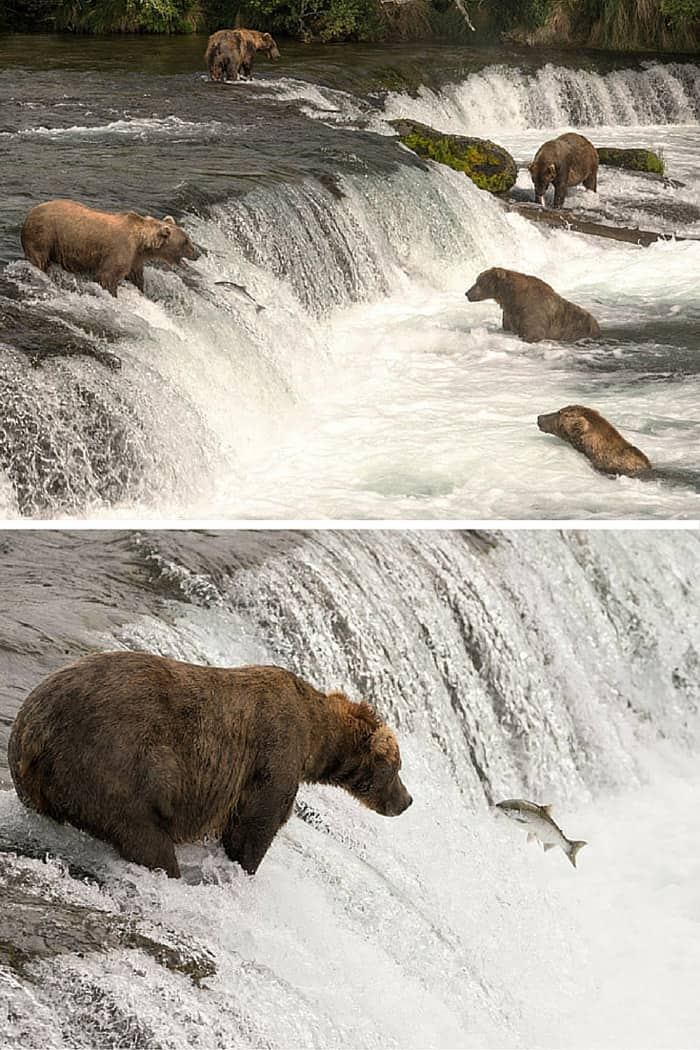 Bears catching Salmon in Alaska