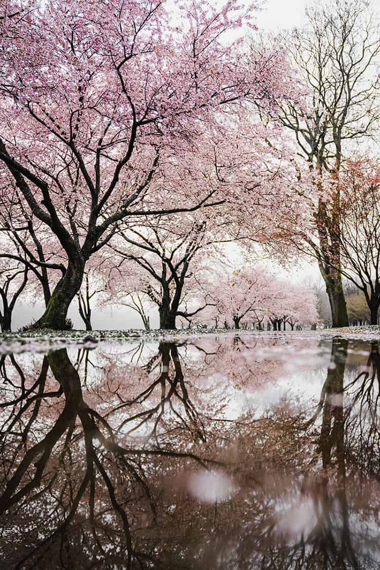 Cherry Blossoms! See the top 10 things to do in Washington, DC!