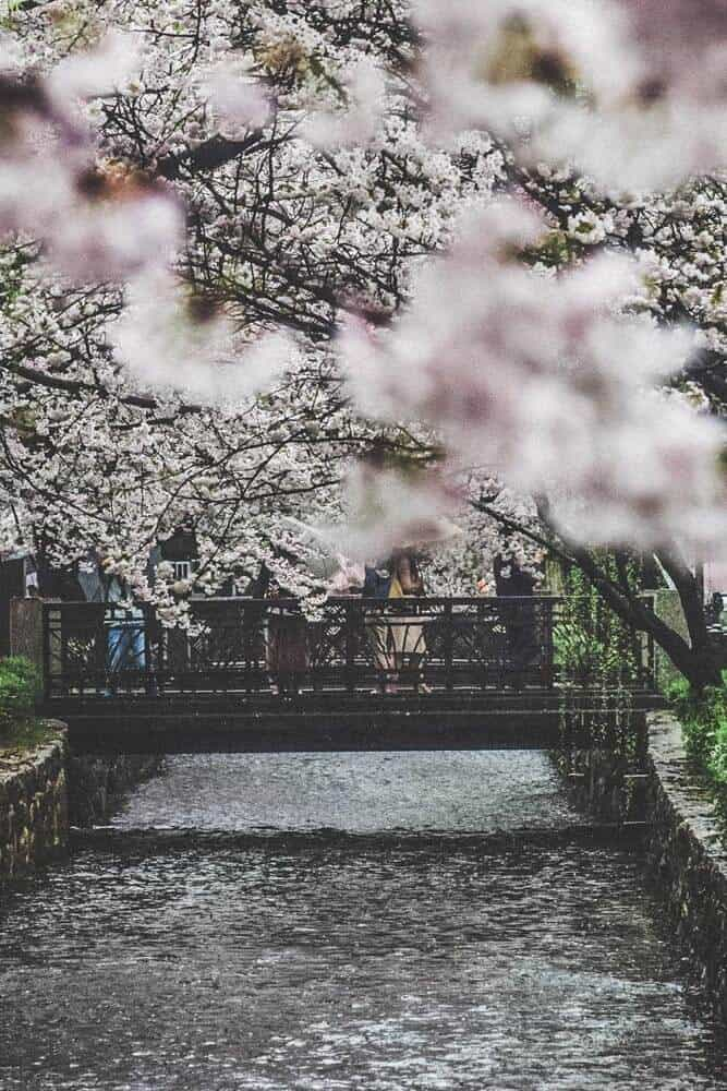 Maruyama Park is known as the best place in Kyoto (and many say Japan) to view blooming cherry blossoms. Cherry blossom seasonis a big deal in Japan that is appreciated by the locals as well as the tourists.