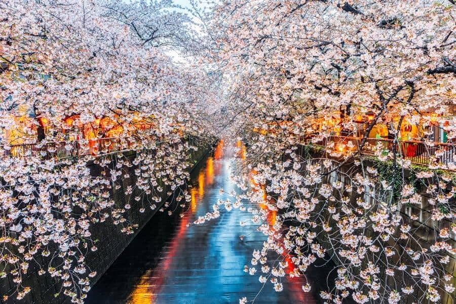 The beautiful cherry blossoms at Meguro Canal. See 10 Cool things to do in Tokyo, Japan