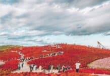 Kochia Garden at the Hitachi Seaside Park