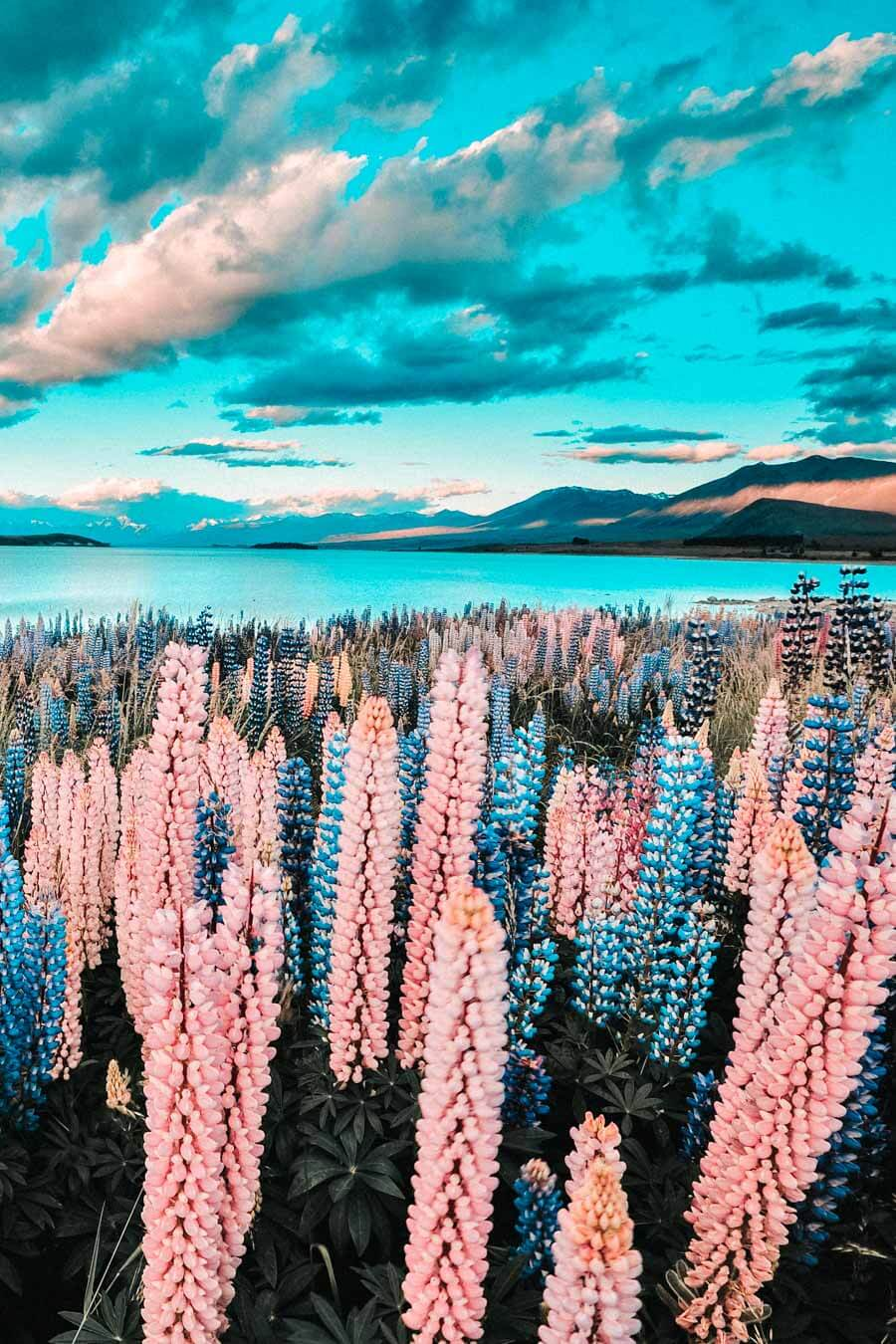 20 Most Beautiful Places in New Zealand! Lake Tekapo is one of the top beauties of New Zealand and definitely one of the top places to see in New Zealand before you die.