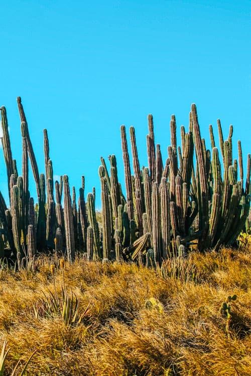 Candelabra Cactus In Arikok National Park Aruba