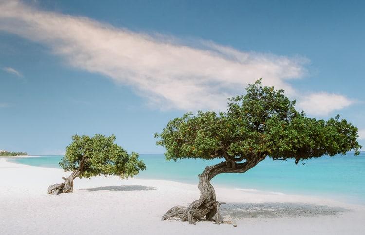 Divi Divi Trees in Eagle Beach In Aruba